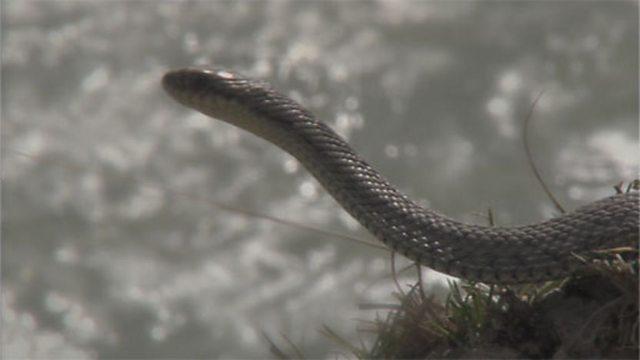 Hot spring snakes