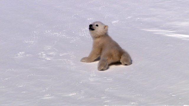 Polar bears emerge