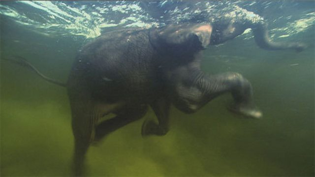 Diving elephants
