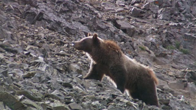 Moth-eating grizzlies