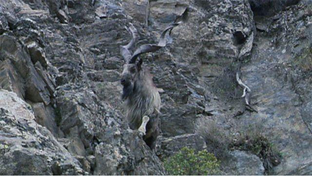 Markhor goat rut