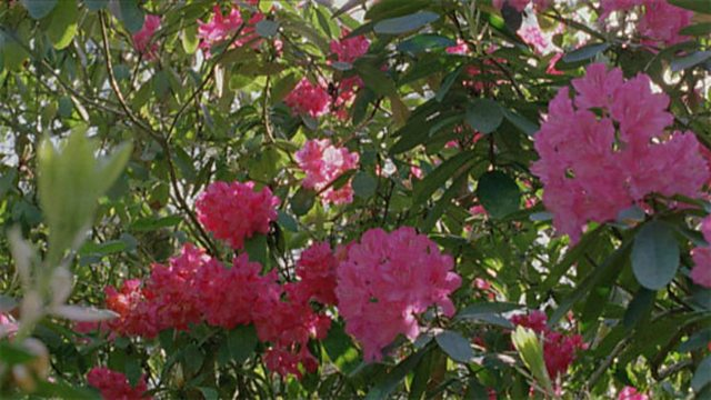 Rhododendron time-lapse