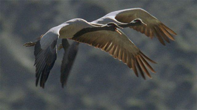 Demoiselle cranes