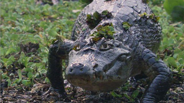Pantanal caiman kill