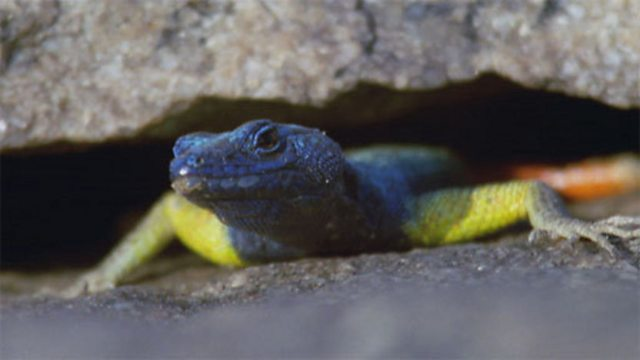 Flat lizard display