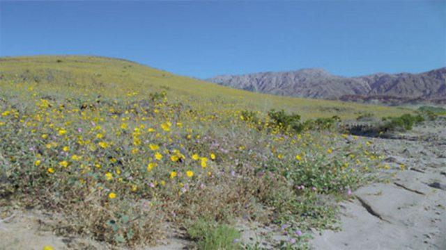 Death Valley bloom