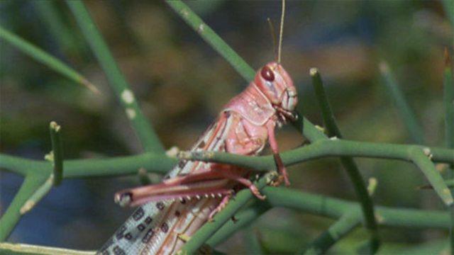 Swarming locusts