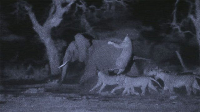 Lions hunt elephants