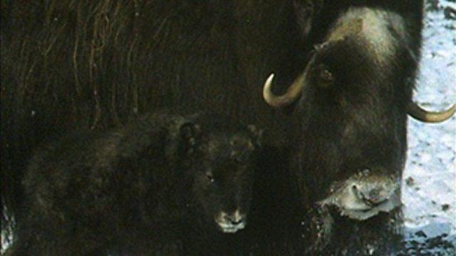 Musk ox calves