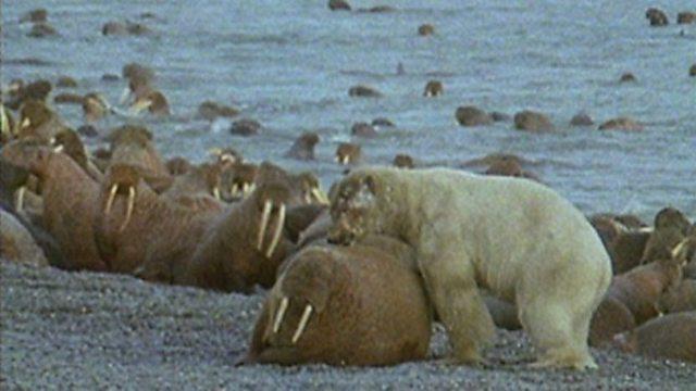 Wary walruses