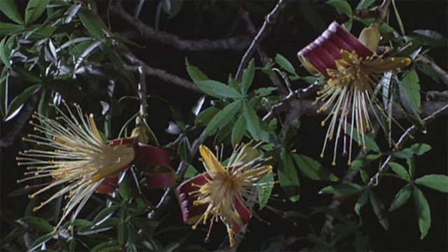 Flowering baobabs