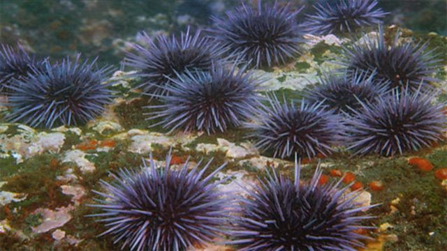 Sea urchin barrens