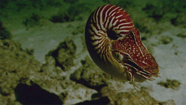 Hunting nautilus
