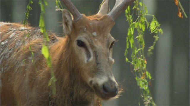 Chinese deer