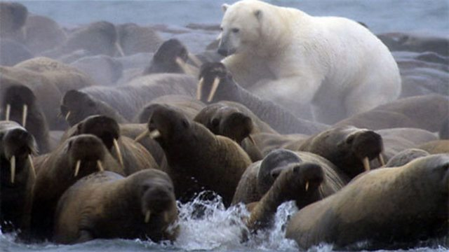 Polar bear walrus hunt