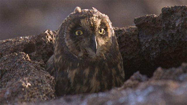 Owls stalking petrels