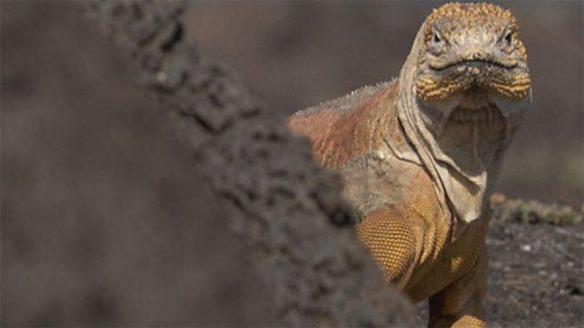 Iguana's egg race