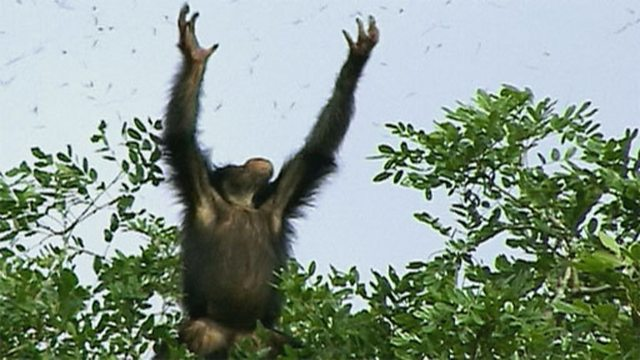 Termite-catching chimps