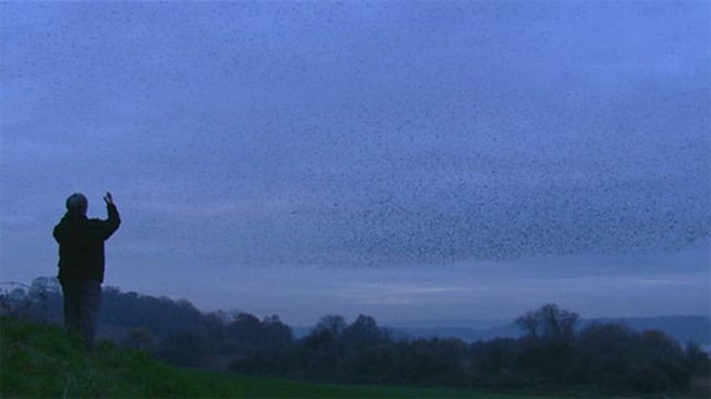 Flocking starlings
