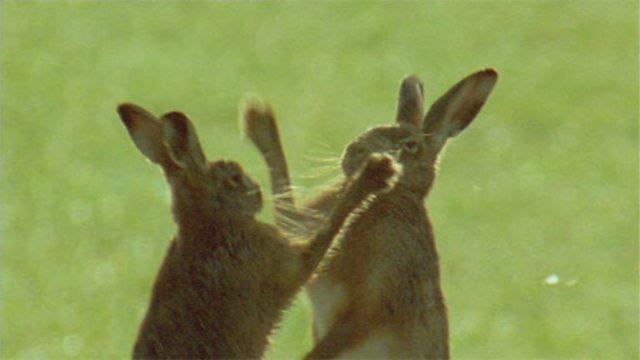 Farmland hares