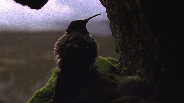 Andean hillstars