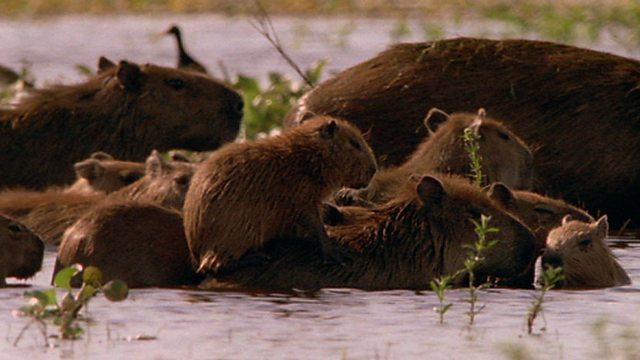 Capybara young