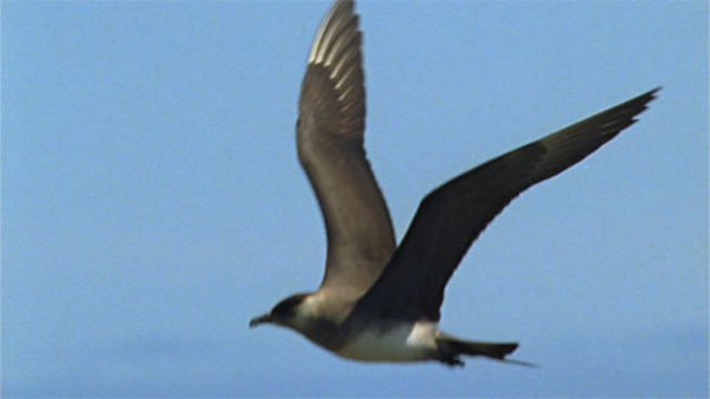 Skuas, a close encounter