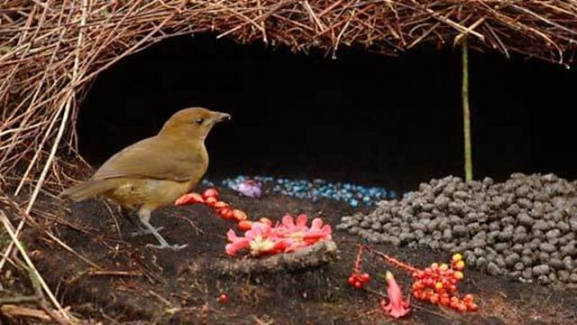 Encounter with a Vogelkop bowerbird