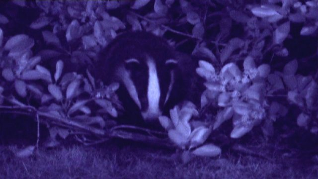 Brighton's night badgers