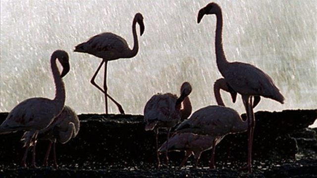 Flamingo courtship