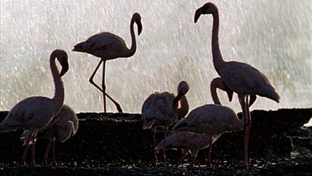 Flamingo courtship