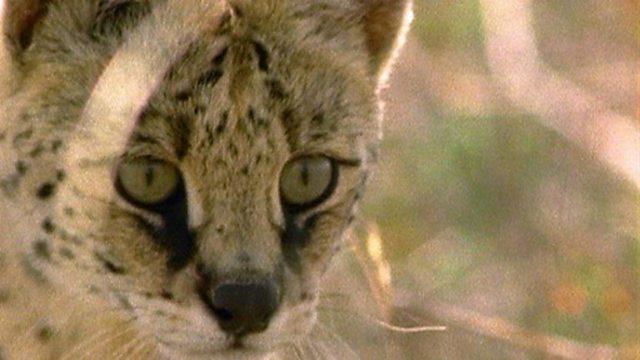 Mountain servals