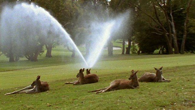 Urban kangaroos