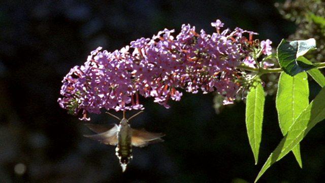 Daytime moth