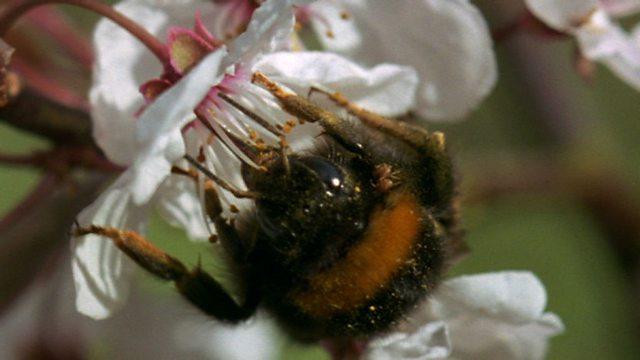 Bee dynasty