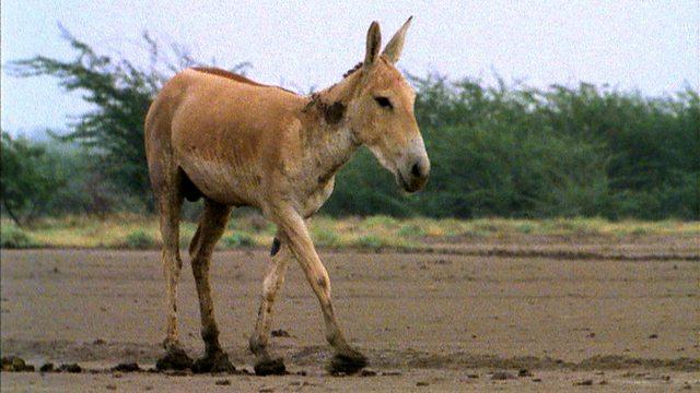 Wild ass foals