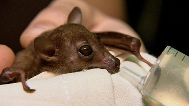 Bat medicine