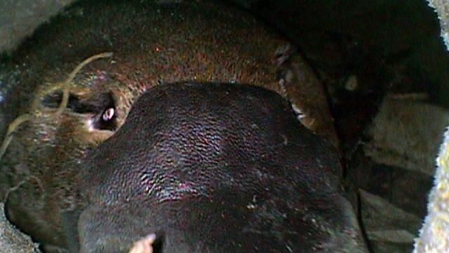 Down a platypus burrow