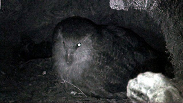 New kakapo life