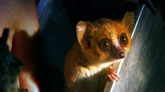 Tiny lemur