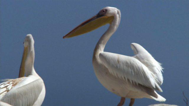 Pelican plunder