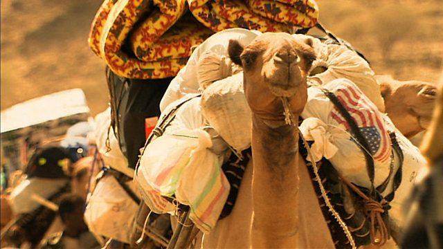 Camel survival
