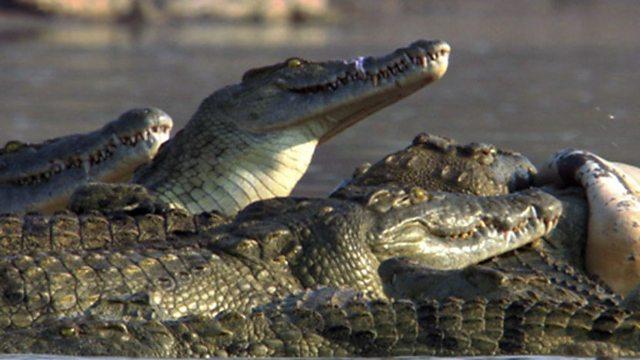Croc immunity
