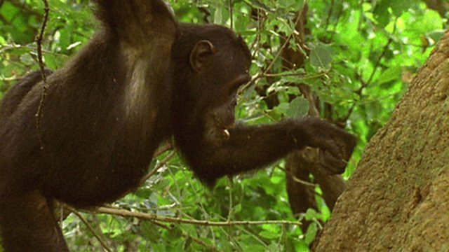 Chimp culture