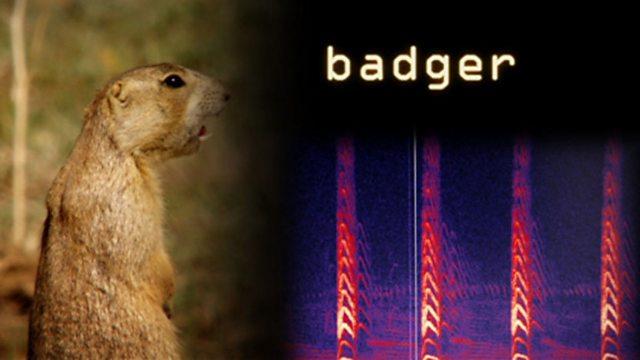 Danger badger!