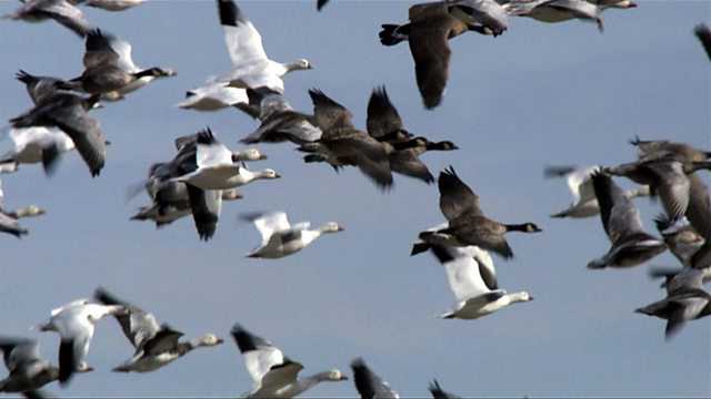 Snow goose fly by