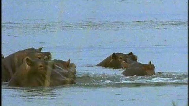 Hippo safety