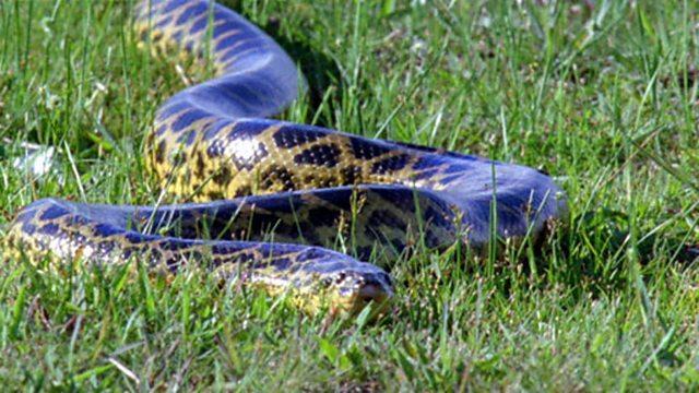 Antenatal anaconda