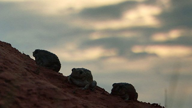 Desert amphibians