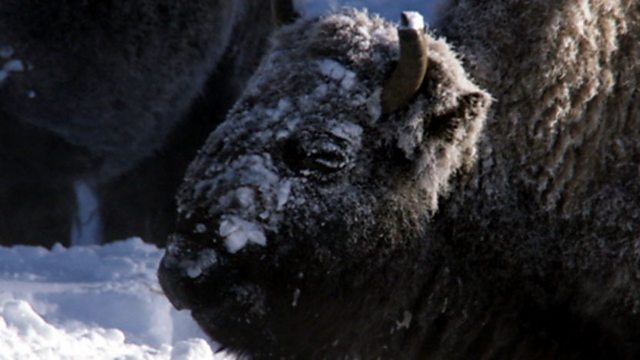 Bison weather proofing